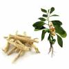 عادات غذایی (۲۵ ) : تغذیه و یادگیری – فصل هفتم: تقویت حافظه و سلامتی/ ادامه بخش پنجم : گیاهان مفید برای عملکرد حافظه و فعالیت های مغزی»»» قسمت ۱۰ : گیاه «پنیرباد» یا «ویتانیا سومنیفرا »